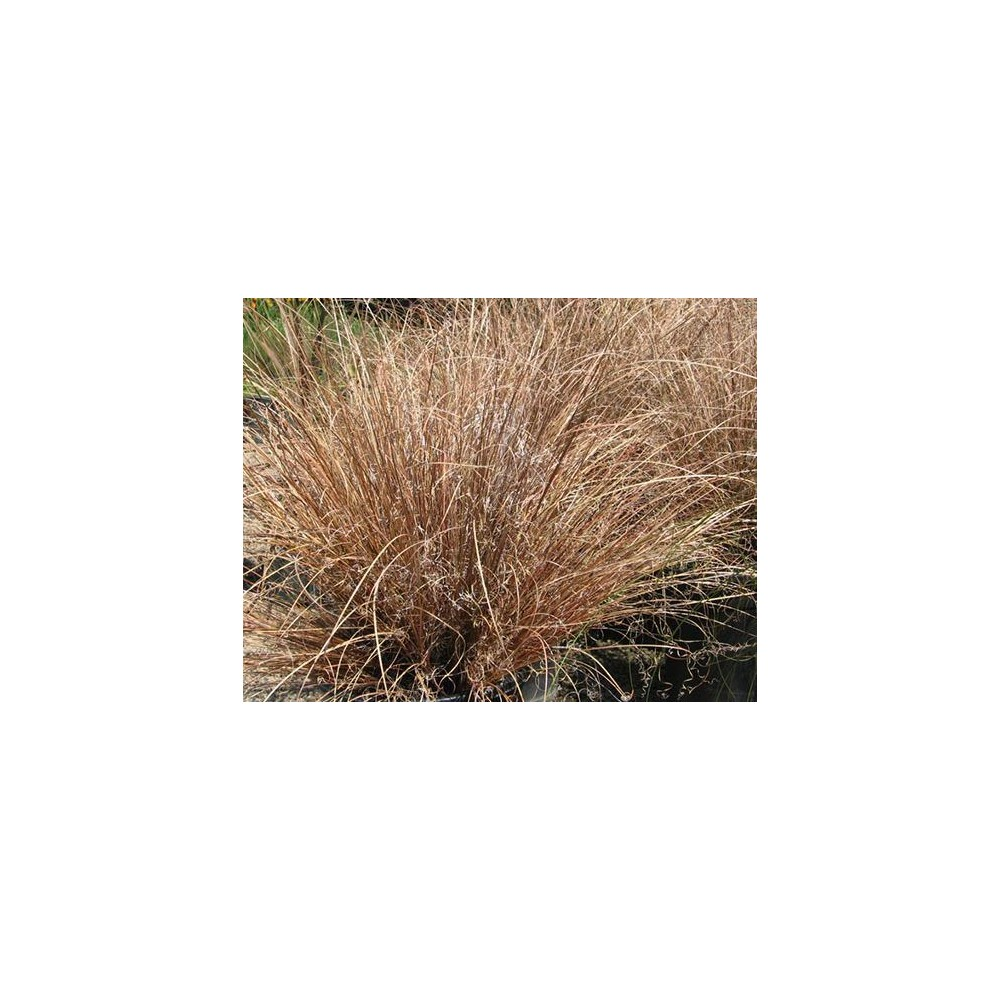 vendita on line Carex comans bronze form