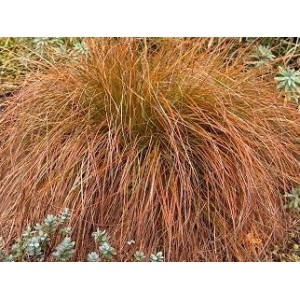 vendita on line Carex testacea Prairie Fire