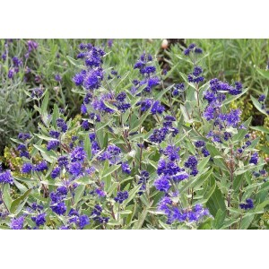 vendita on line caryopteris kew blue
