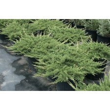 vendita Ginepro Principe di Galles Juniperus Price of Wales