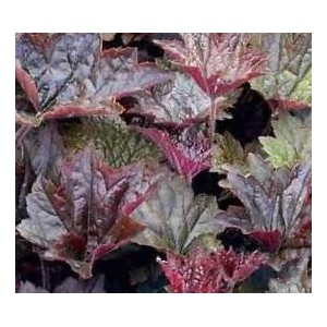 vendita on line heuchera micrantha palace purple