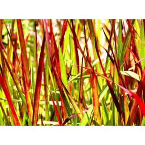 vendita on line Imperata cylindrica Red Baron