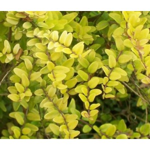 Vendita on line Lonicera Nitida Baggesen's Gold