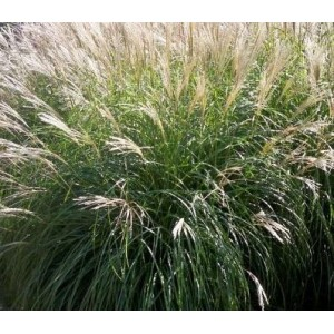vendita on line Miscanthus sinensis 'Morning Light