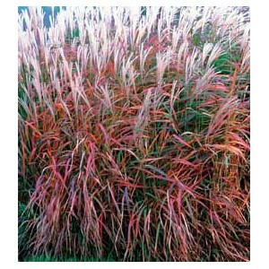 vendita on line Miscanthus sinensis 'Purpurascens'