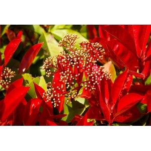 vendita online photinia fraseri red robin