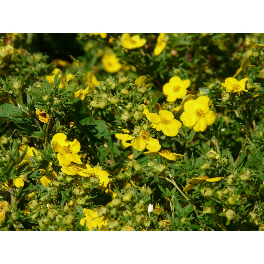 vendita online potentilla fruticosa  gold finger