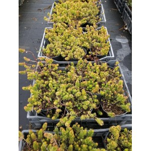 Vendita on line Sedum Reflexum gold