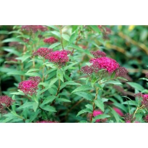 vendita on line spirea spiraea japonica dart's red