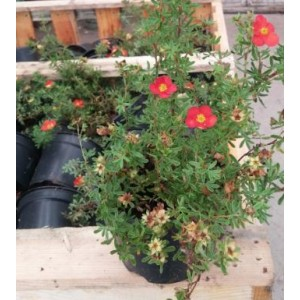 vendita online Potentilla fruticosa 'Red Ace'