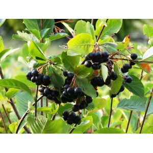 vendita on line aronia melanocarpa