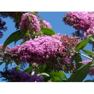 vendita on line Buddleja Davidii Pink Delight
