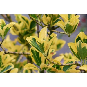 Vendita on line Euonymus Evonimo fortunei emerald gold