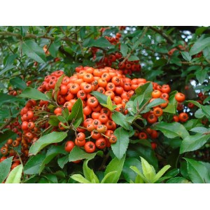 vendita online pyracantha orange glow
