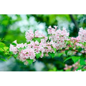 vendita online Weigela Abel Carrier
