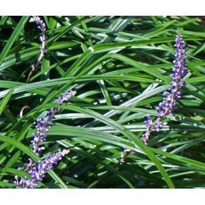 vendita Liriope muscari Royal Purple