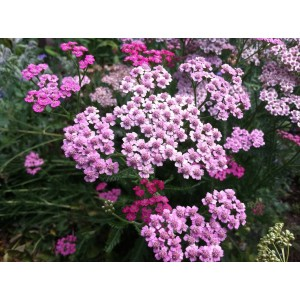 Vendita on line Achillea millefolium 'Colorado'