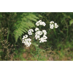 vendita on line Achillea ptarmica