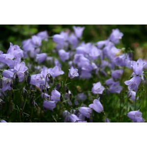 Vendita on line CAMPANULA  CARPATICA BLU