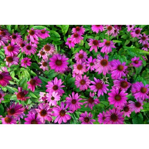 vendita on line echinacea purpurea