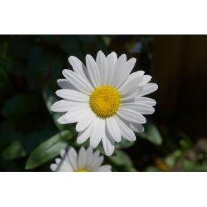 vendita on line Leucanthemum margherita Broadway Lights