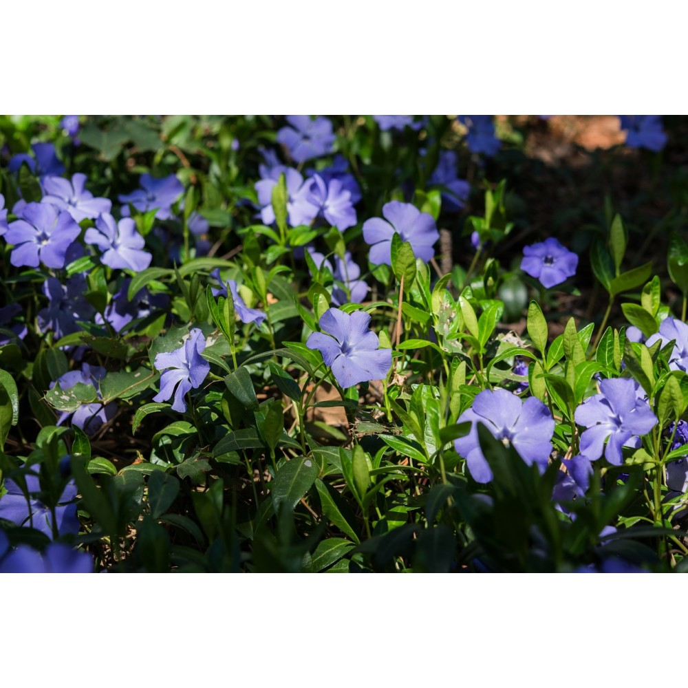 vendita online vinca minor pervinca minore