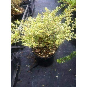 vendita lonicera nitida lemon beauty