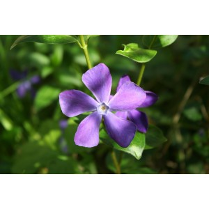 vendita Vinca minor Atropurpurea