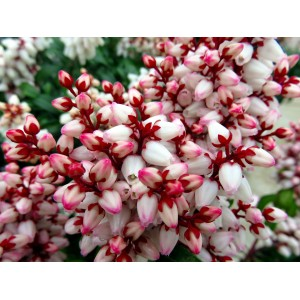 vendita online Pieris Japonica Valley Rose