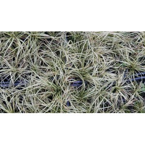 vendita Carex oshimensis Evergold
